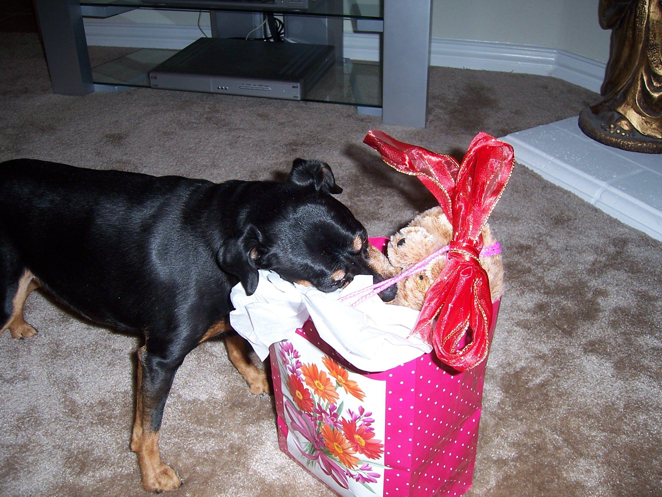 Cujo my min pin enjoying Christmas Dogs, Animals, Christmas