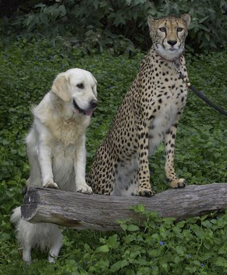 dogs befriend cheetahs to aid cats survival cats and dogs