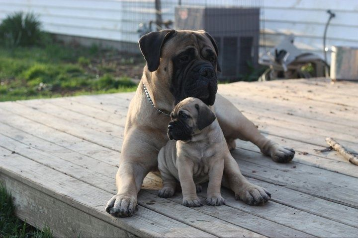 Bullmastiff A Mother S Love Bull Mastiff Dogs Mastiffs