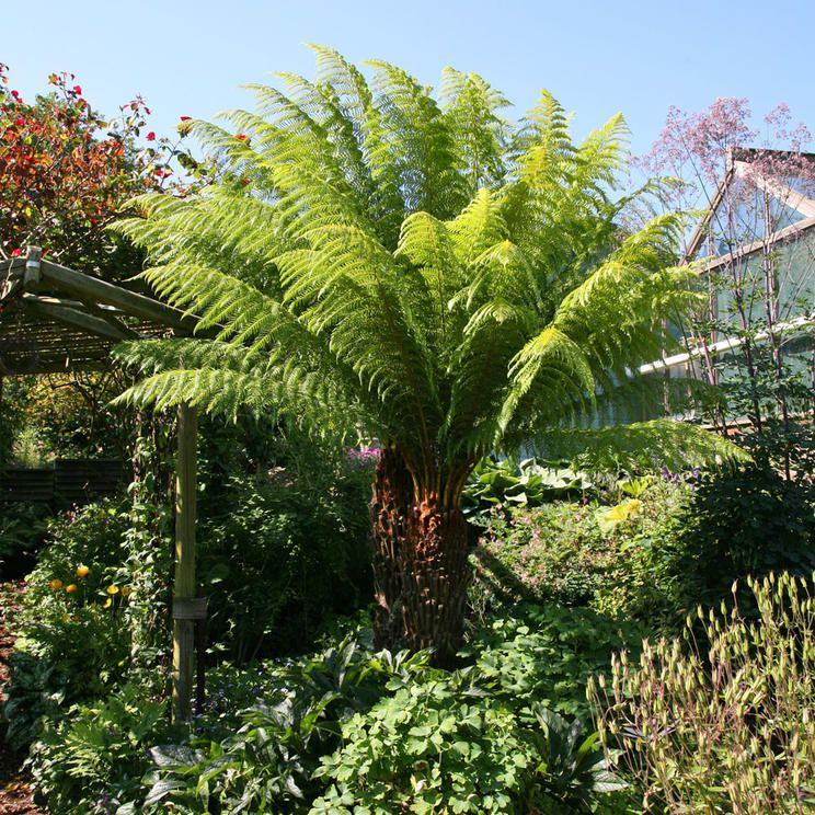 Baumfarne Farn Pflanze Pflanzen Und Schattengarten