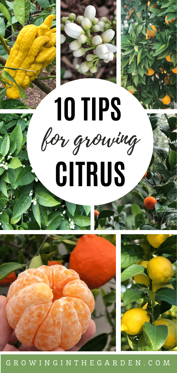 How To Grow Citrus In Arizona Growing In The Garden Growing Citrus Citrus Trees Growing Fruit