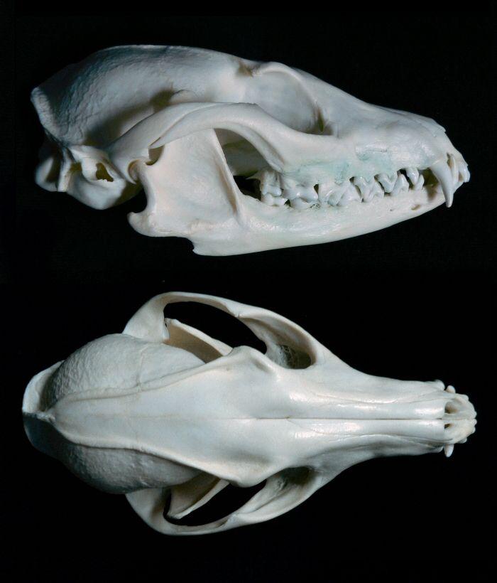 Gray Fox Skull Multiangle by nikkiburr | Anatomy. Animals ...