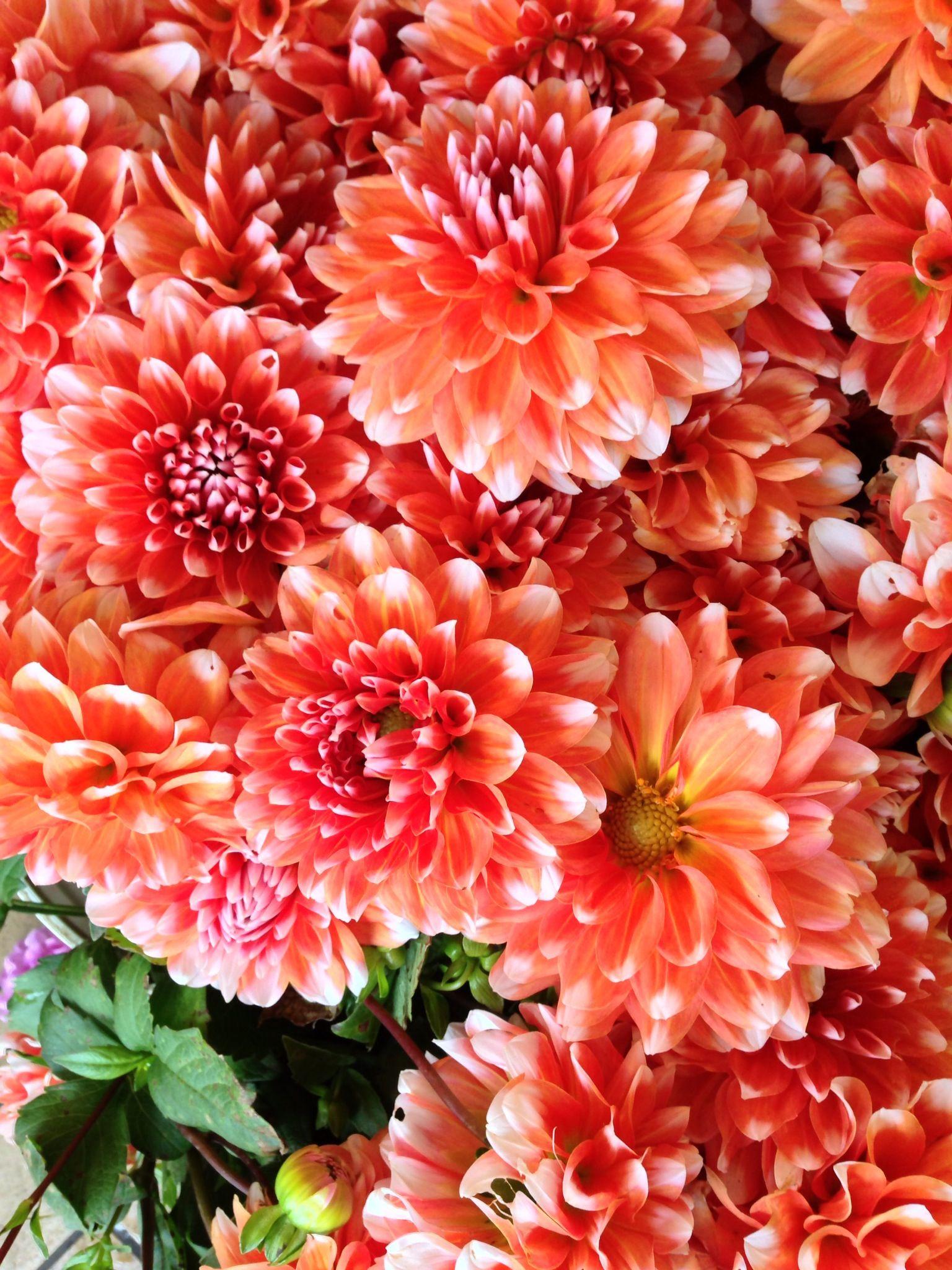 Peach color Dahlias! | The Pretty. | Pinterest | Peach colors ...