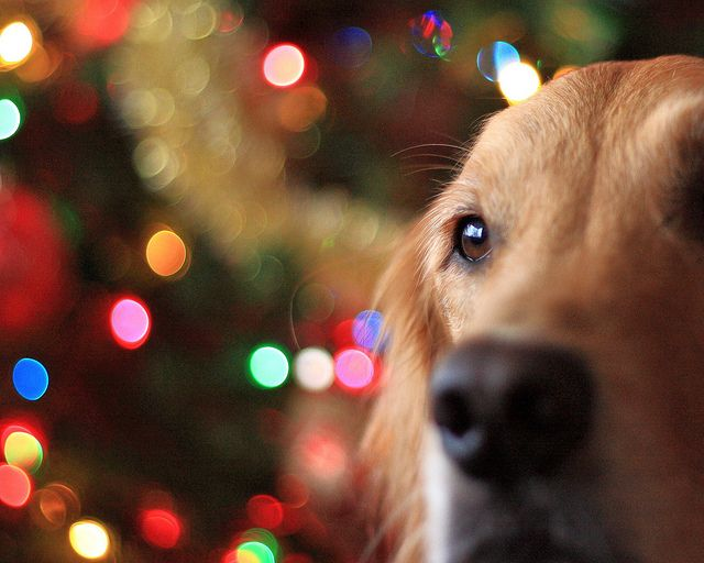 Christmas Time Photo Session With A Golden Retriever 3 Dog