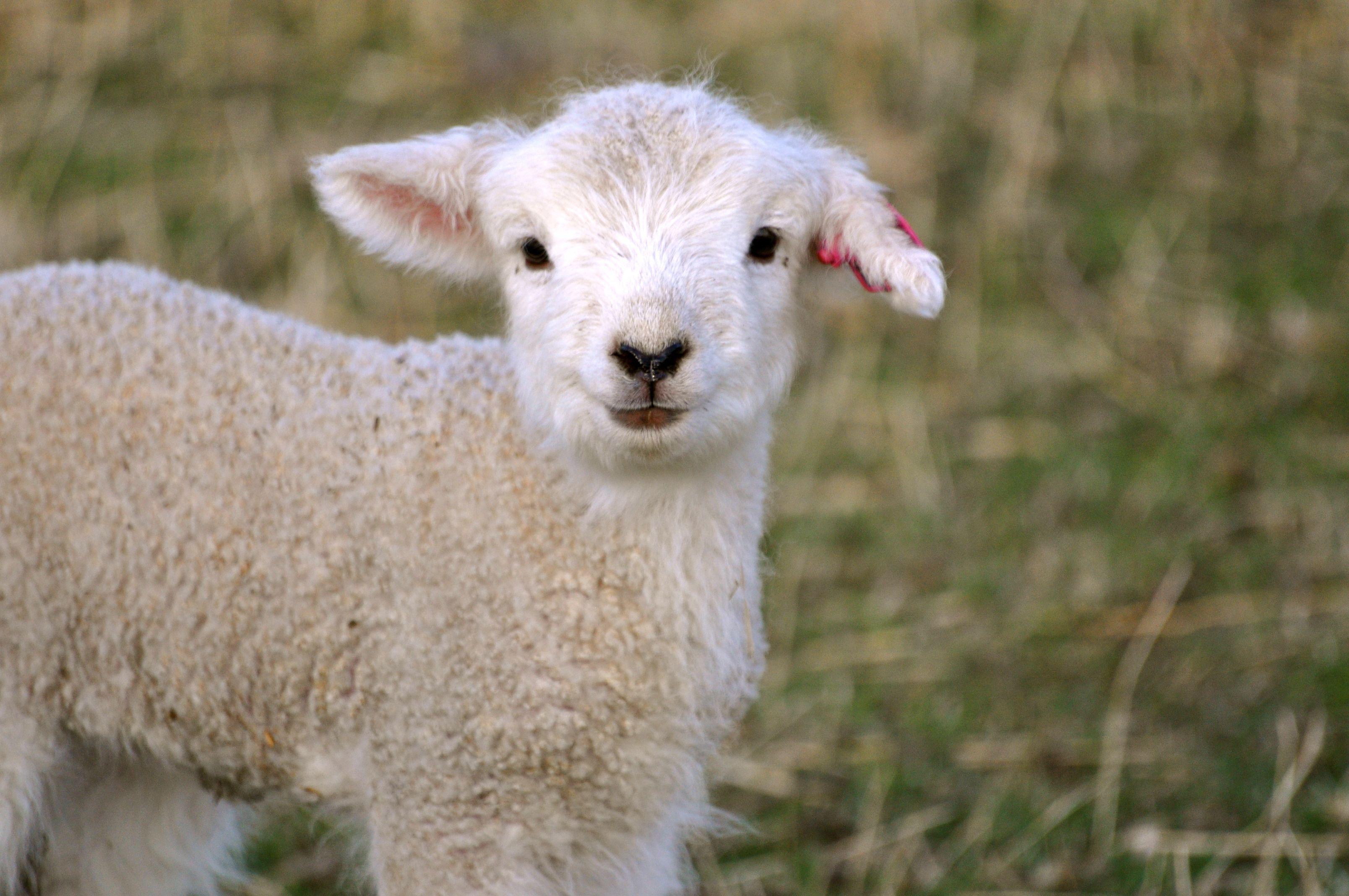 Checking the Sheep | Cute sheep, Sheep, lamb, Sheep