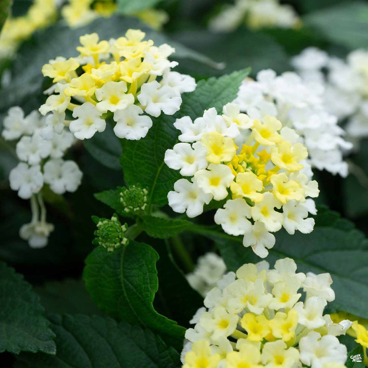 Lantana In 2020 Lantana Showy Flowers Lantana Plant