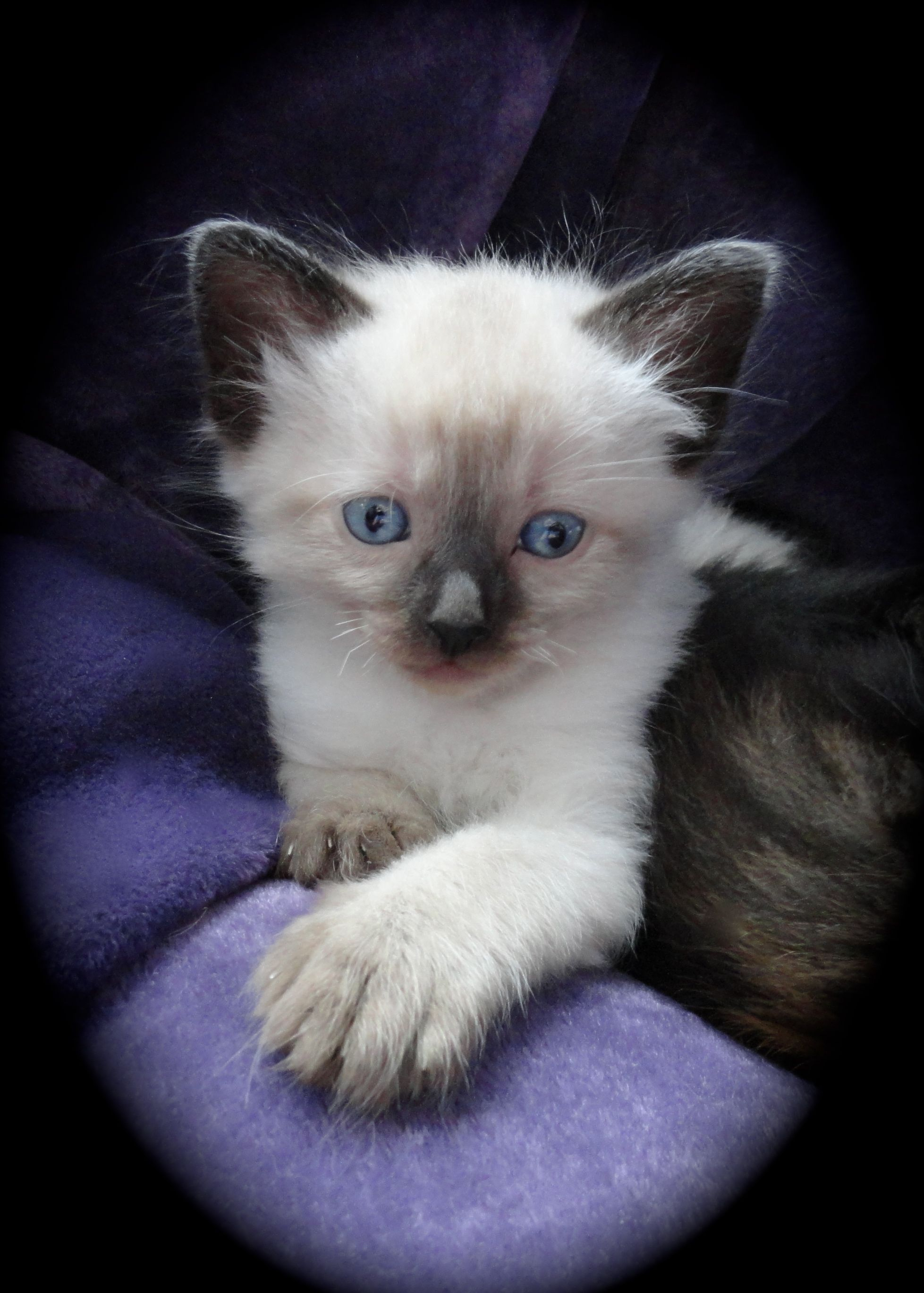 Katy's Kitten at 5 weeks old Ragdoll X Kittens ♡ Cats