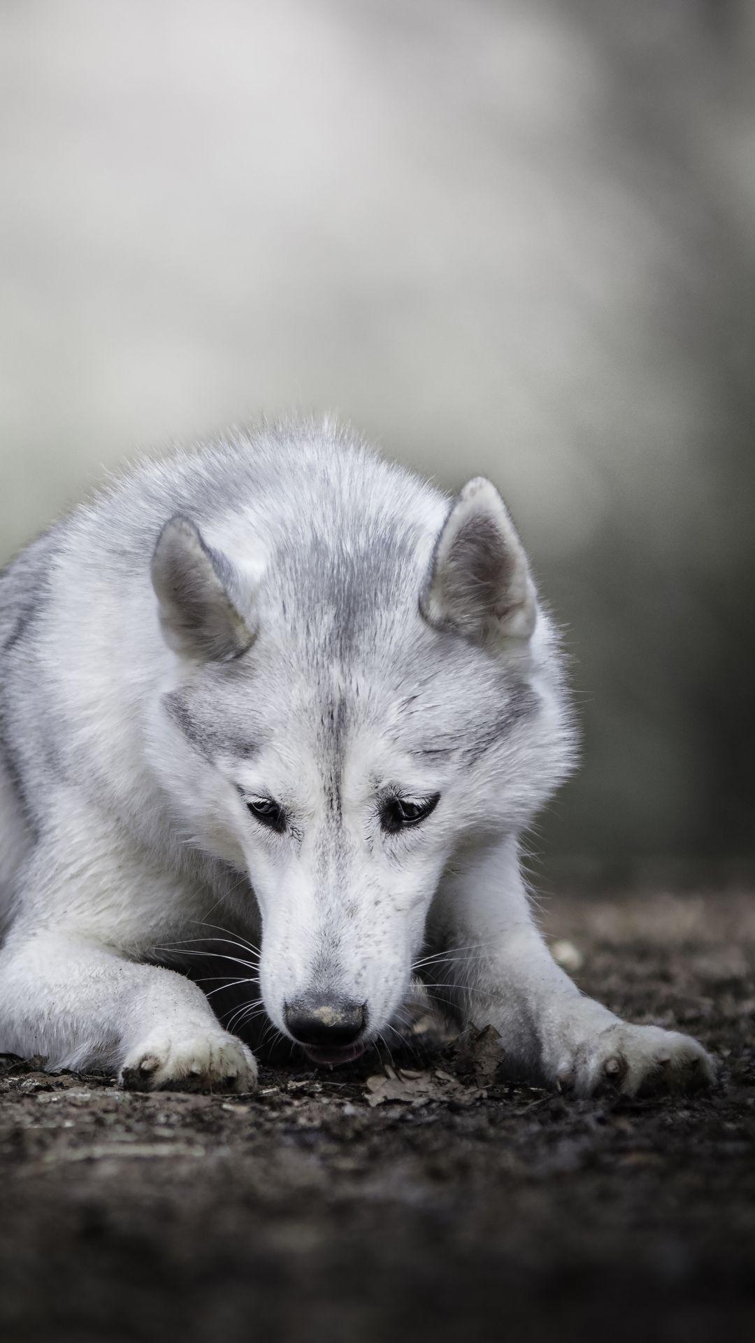 Animal Wolfdog 1080x1920 Mobile Wallpaper Wolf Dog Animals