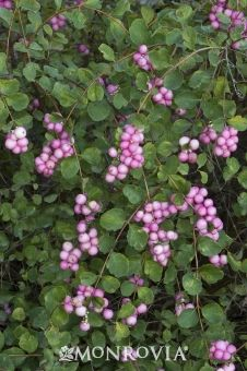 My Pink Snowberry Shrub In The Front With Berries In Fall