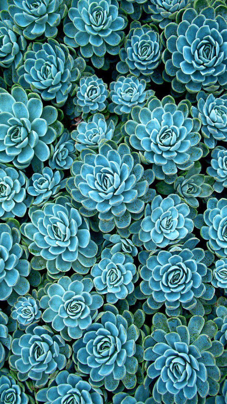 Succulent Succulents wallpaper, Plant wallpaper, Blue