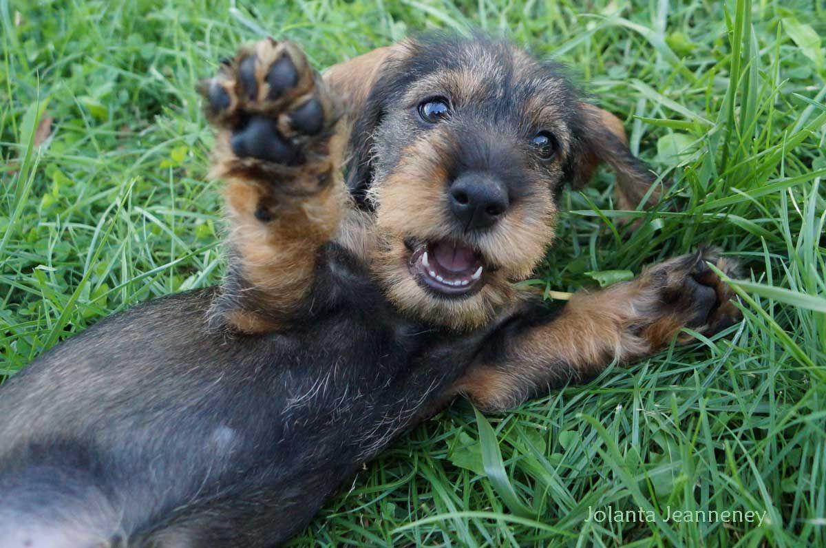 dachshund - ich LIEBE Rauhaardackel :-)