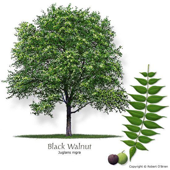 Image From Http Black Walnut Black Walnut Tree Walnut Tree Shade Trees