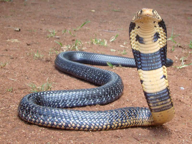 Pin on Venomous SerpentesNaja Kaouthia Venom