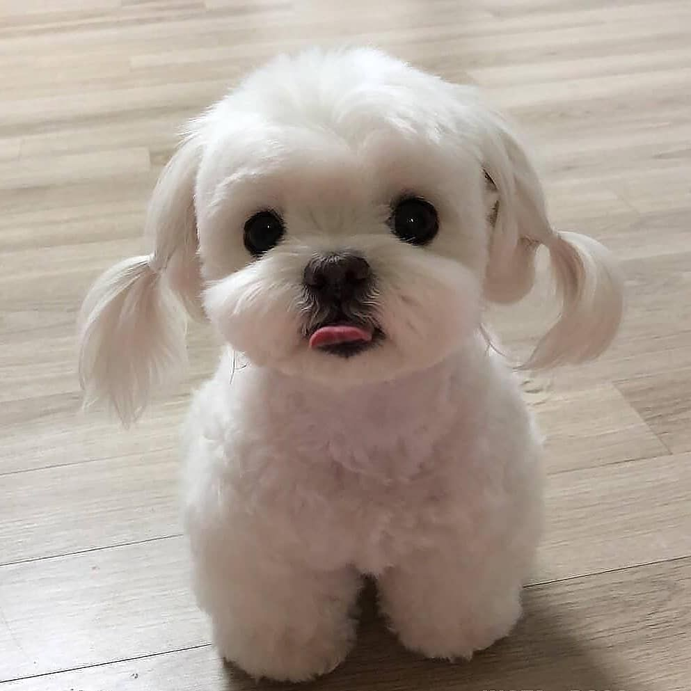 Cutest Maltese Picture Cute Puppies Cute Dogs And Puppies Cute Little Puppies