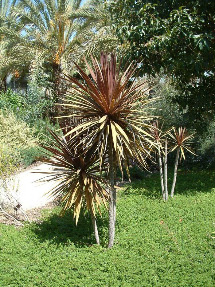 Cordyline Australis Red Star Architectural Plants Plants Mediterranean Plants