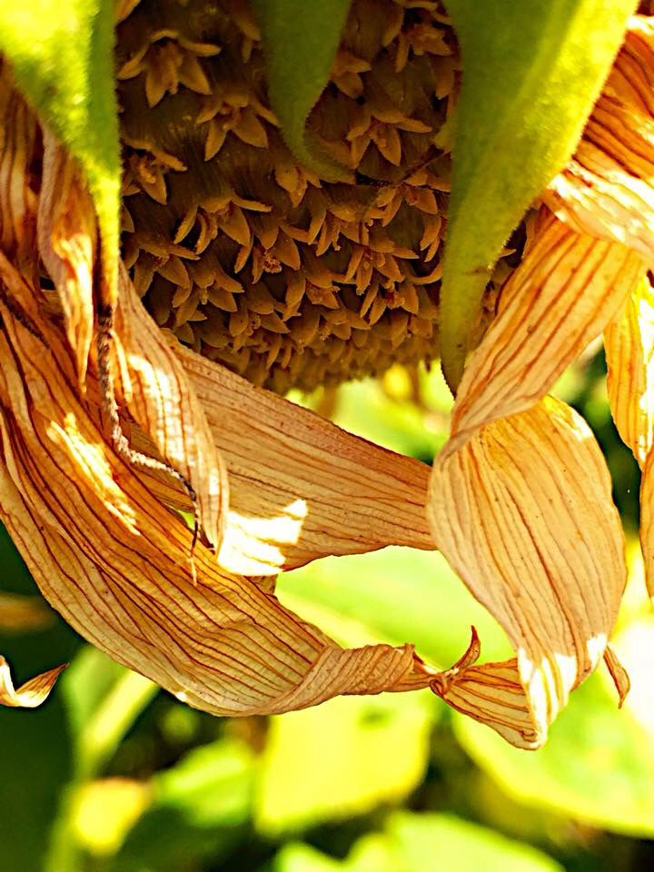 Sunflowers are so interesting when they start to fade.