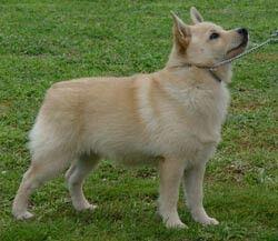 Schipperke Blonde Color Schipperke Dog Dog Breed Info Dog People
