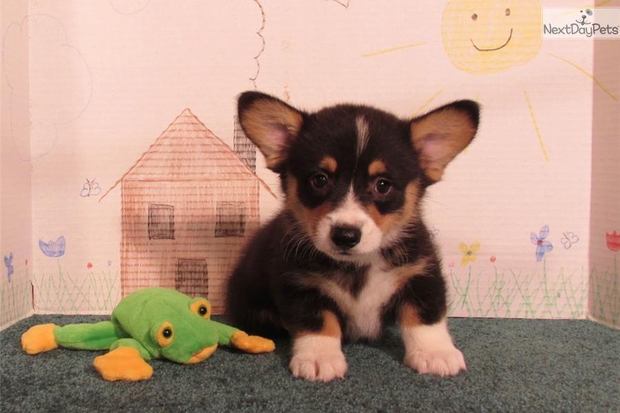 Meet Lucky A Cute Welsh Corgi Pembroke Puppy For Sale For 600 Lucky Corgi Welsh Corgi Corgi Puppy Funny