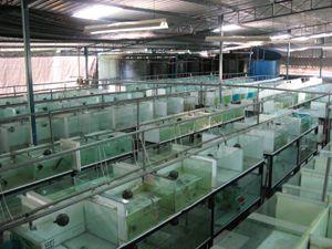 Criadero de peces ornamentales proyectos que intentar for Criaderos de pescados colombia