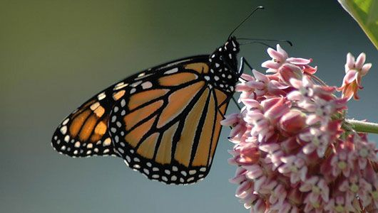 Where Have All Monarchs Gone >> Where Have All The Monarch Butterflies Gone Butterflies And