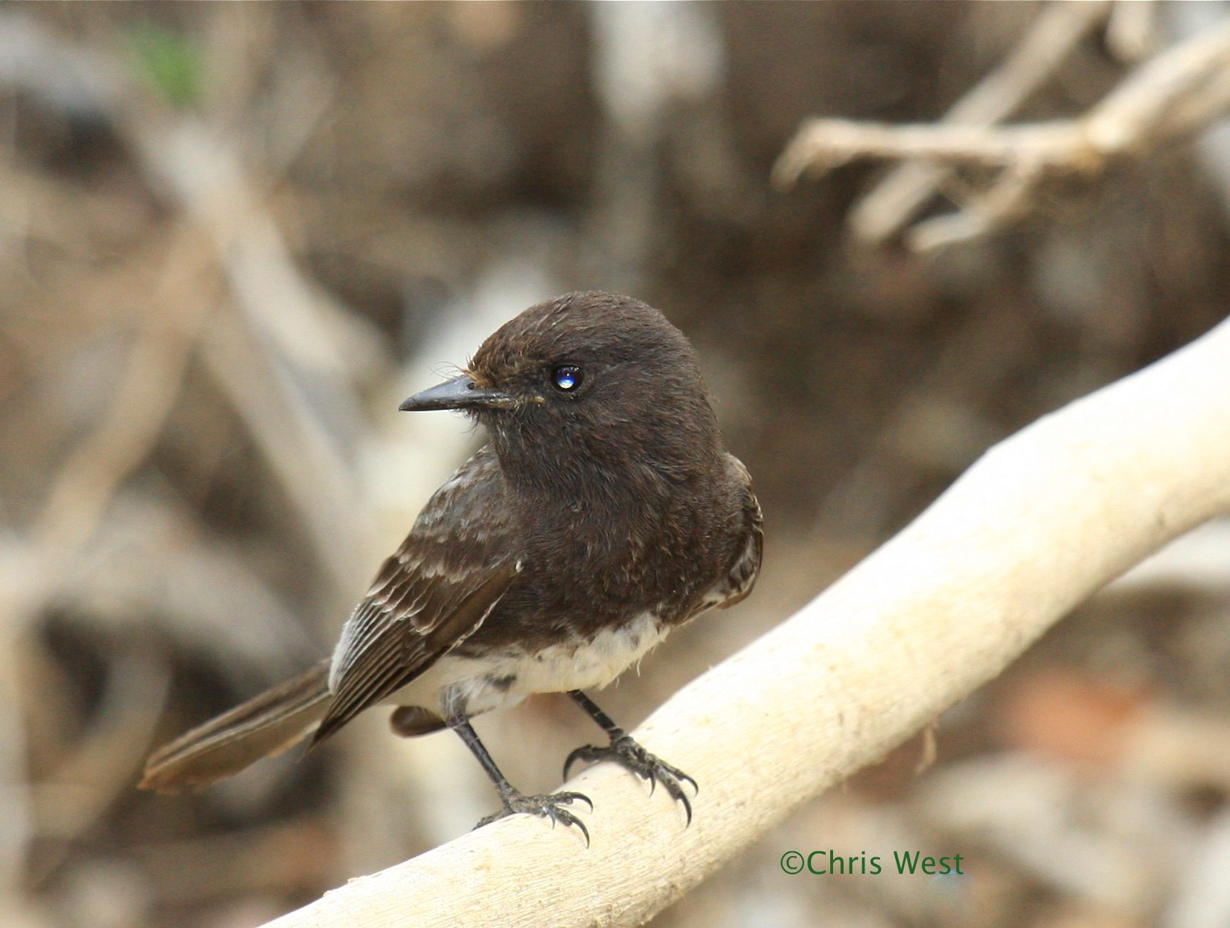 A resident of the desert southwest, Black Phoebes are the ...
