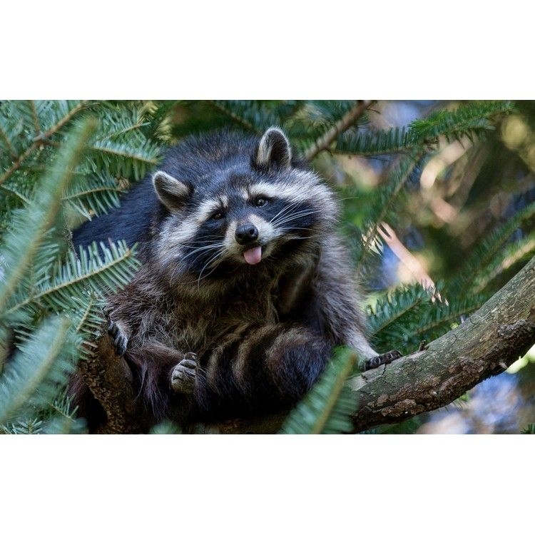 fac23328a3e5e6c53a7f57f5b79baf7e - How To Get Rid Of Raccoons In My Crawl Space