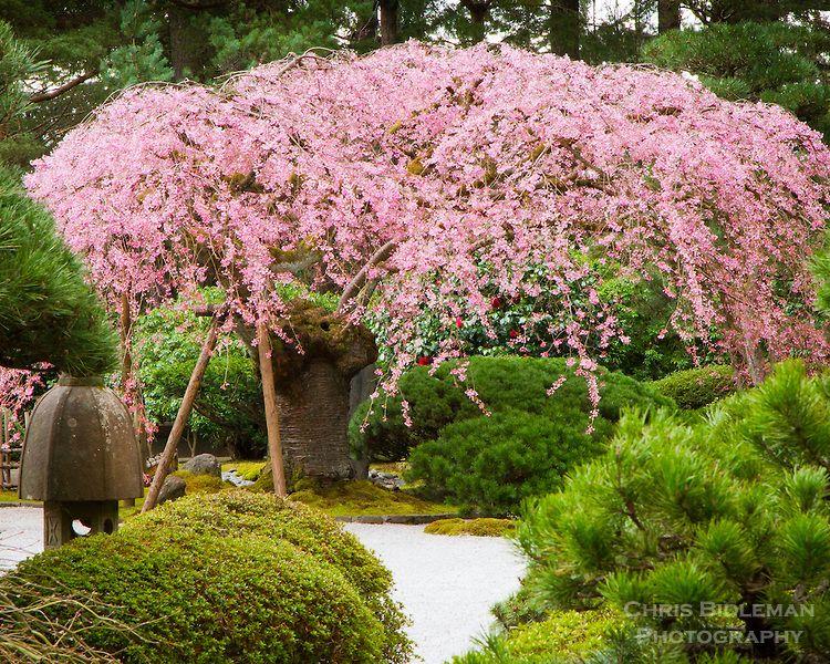 A 100 Year Old Weeping Cherry Tree Prunus Subhirtella Or Sakura Is In Full Bloom Of Pink Fl Portland Japanese Garden Japanese Garden Japanese Garden Backyard