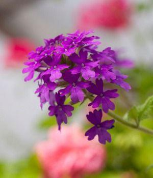 Verbena aka purple top tall vervain pasiune pentru mov verbena aka purple top tall vervain purple flower namespurple mightylinksfo