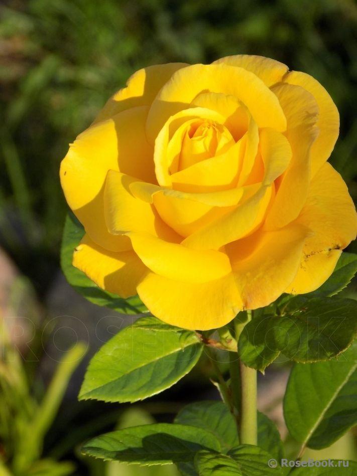 Garden Princess Floribunda Rose Rose Flower Pictures Amazing Flowers Yellow Rose Flower