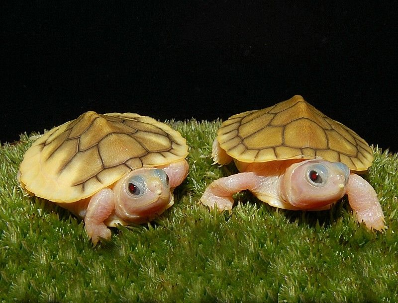 Caramel Pink Albino Red Eared Sliders for sale from The