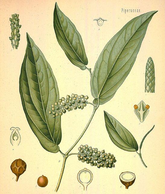 Piper cubeba L. f. 1782 - Kubeben-Pfeffer - Tailed Pepper [Bildquelle: Köhler, 1883]
