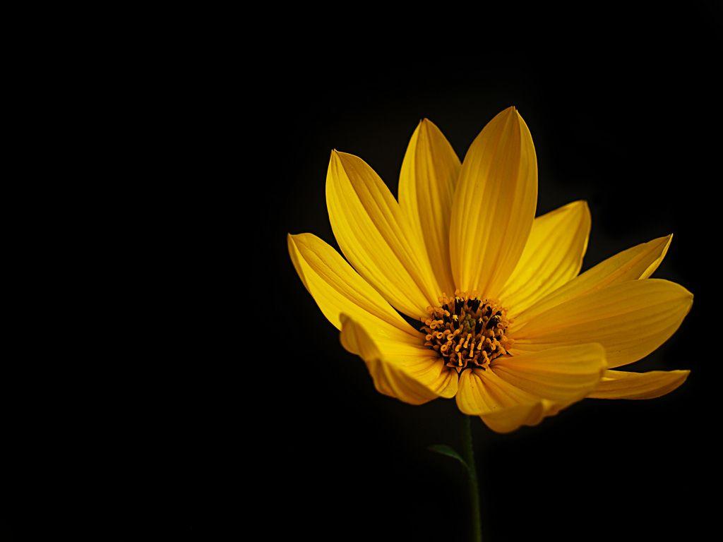 Yellow Flowers Black Background