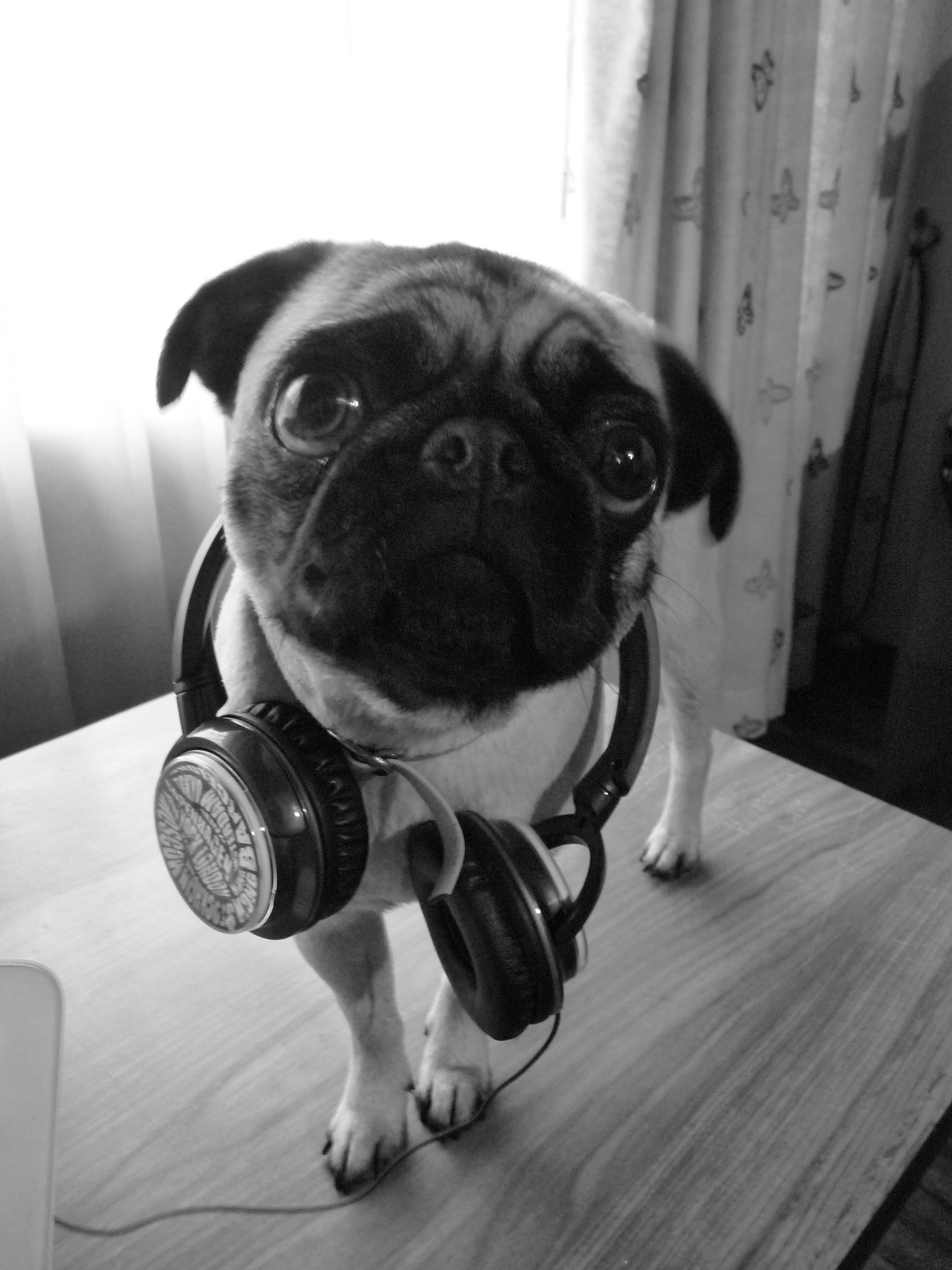 Pug Headphones With Images Work With Animals Animal Pin