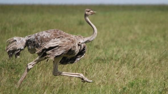 Ostrich Ostriches Ostrich Animals