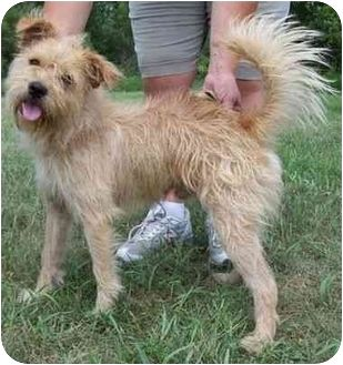 Border Terrier Wheaten Terrier Mix Dog For Adoption In North