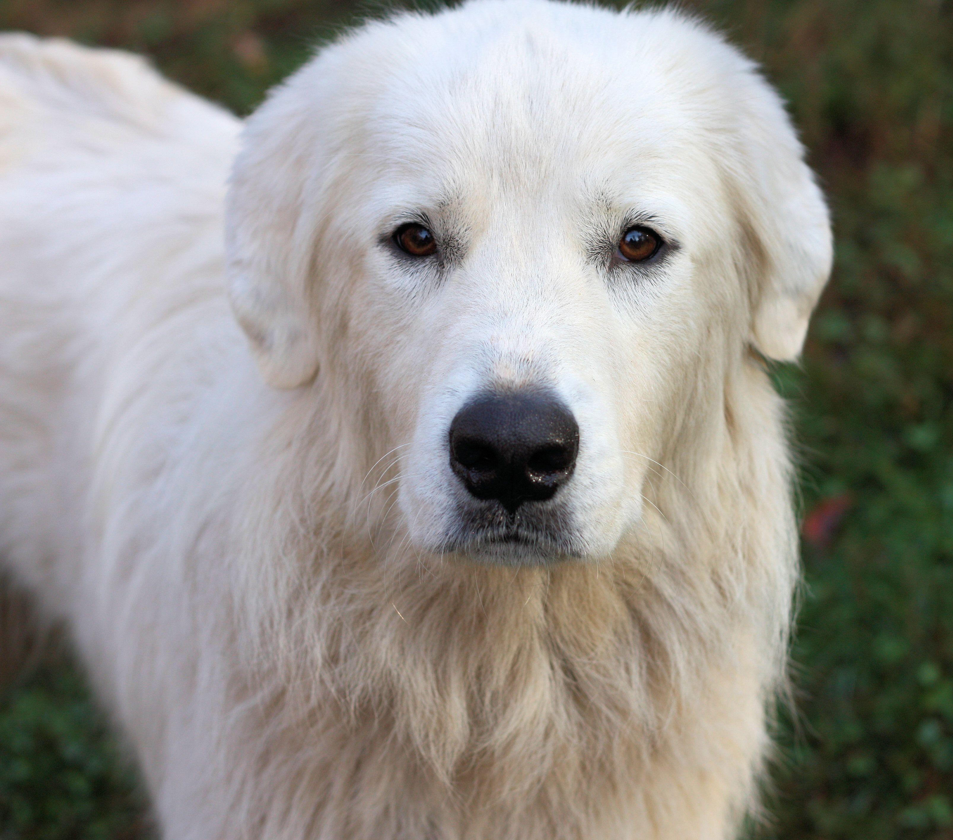 Great Pyrenees dog for Adoption in Danbury, CT. ADN712065