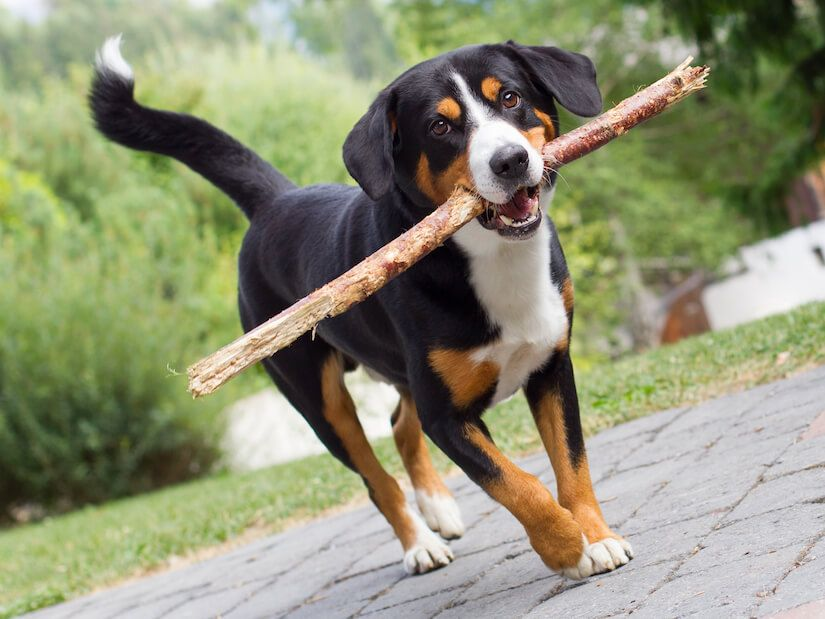 Pin Auf Entlebucher Mountain Dog