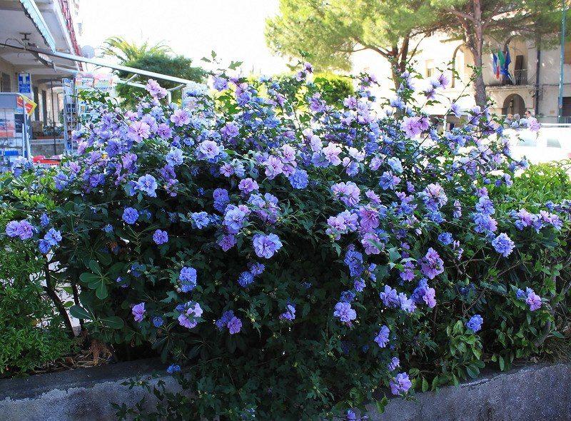 HIBISCUS Rose of Sharon Blue Chiffon Shrubs Bushes
