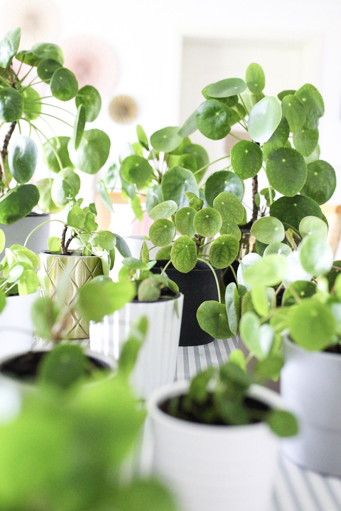 Pilea Peperomioides Ableger Tipps Zum Thema Pflege Und Ableger Pflanzen Ufopflanze Blumenerde