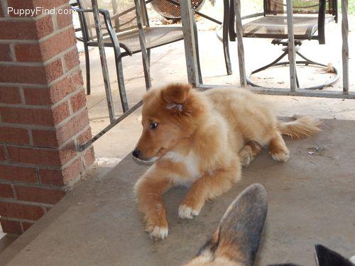 Pomeranian Golden Retriever Puppies Designer Breed Mixed Breed