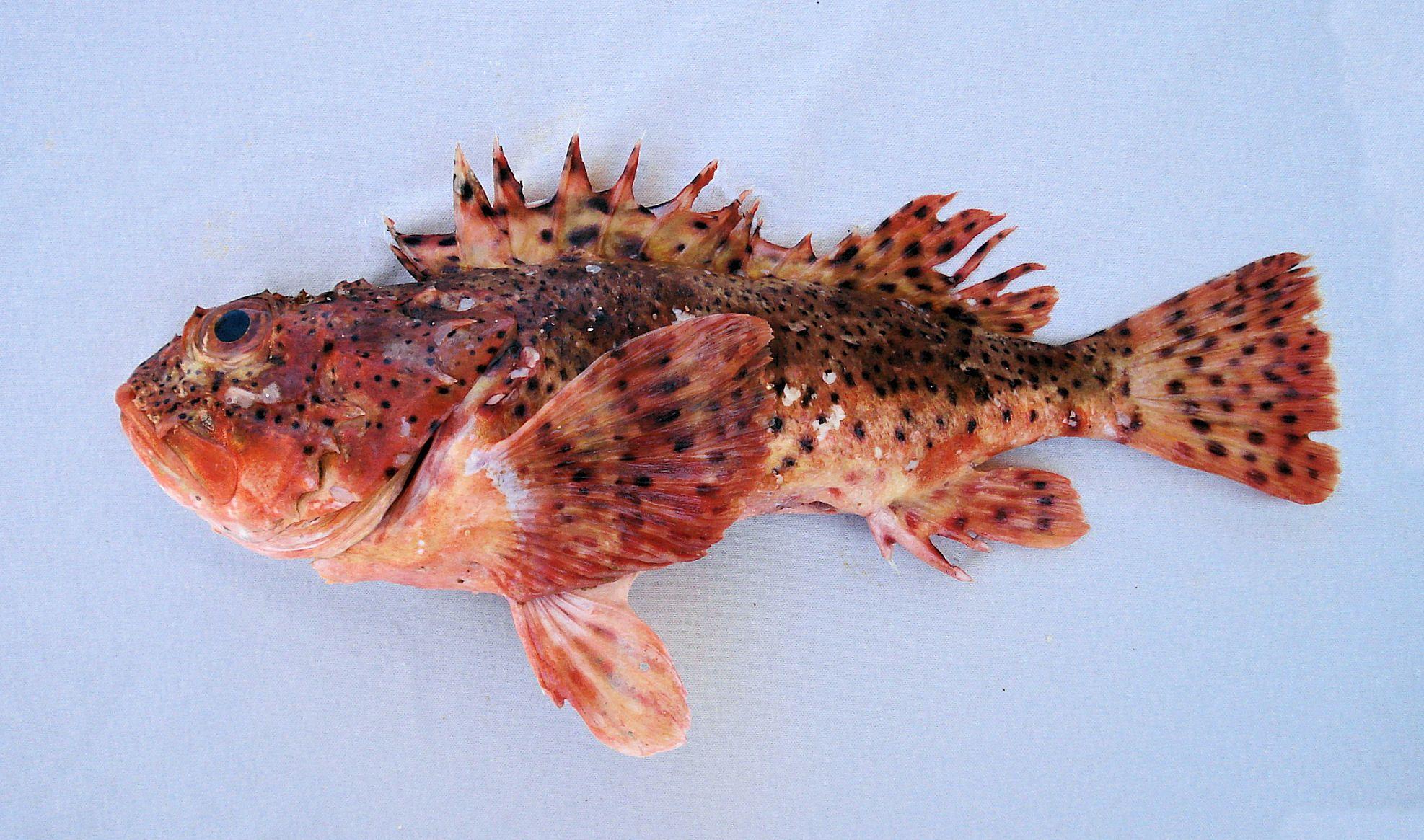 Scorpion Fish Reference Lion Fish Angler Fish Scorpion Fish