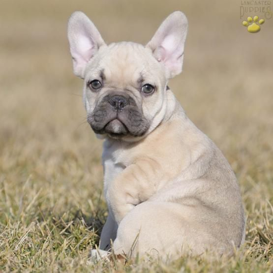 Chaz French Bulldog Puppy for Sale in Bucks County, PA