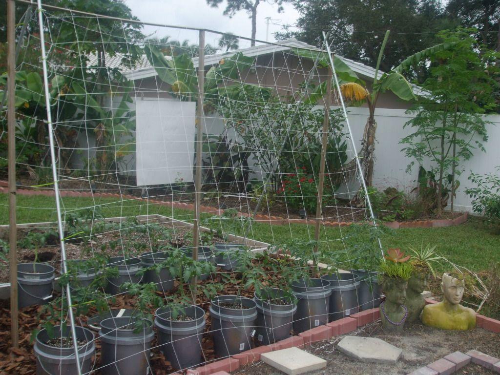 beans trellis gardening outdoors pinterest bean trellis
