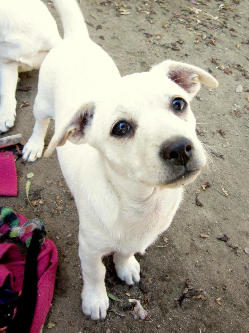 Pick me labrador retriever labrador dogs