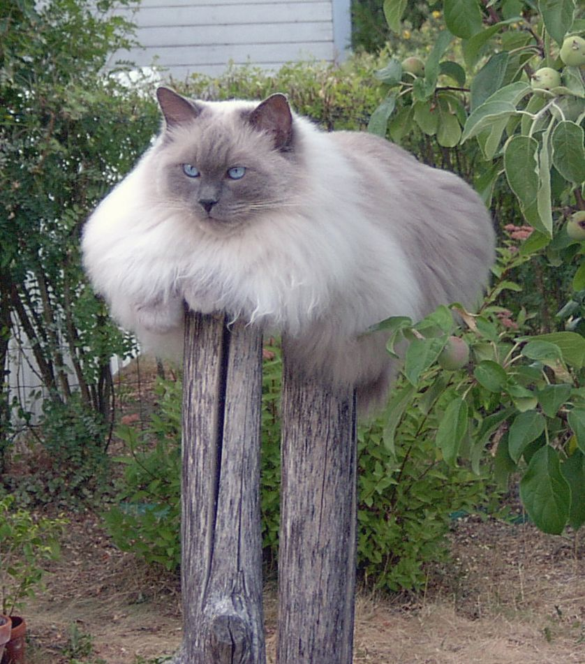 cat on a stick fluffy cat sitting on the fence post funny