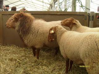 www.Zootierliste.de Coburger Fuchsschaf | 16 Schafe, sowie ...