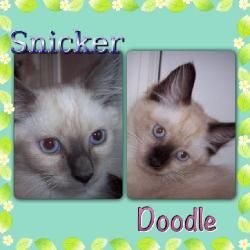 Adopt Snicker And Doodle On Pet Finder Ragdoll Cat Doodles
