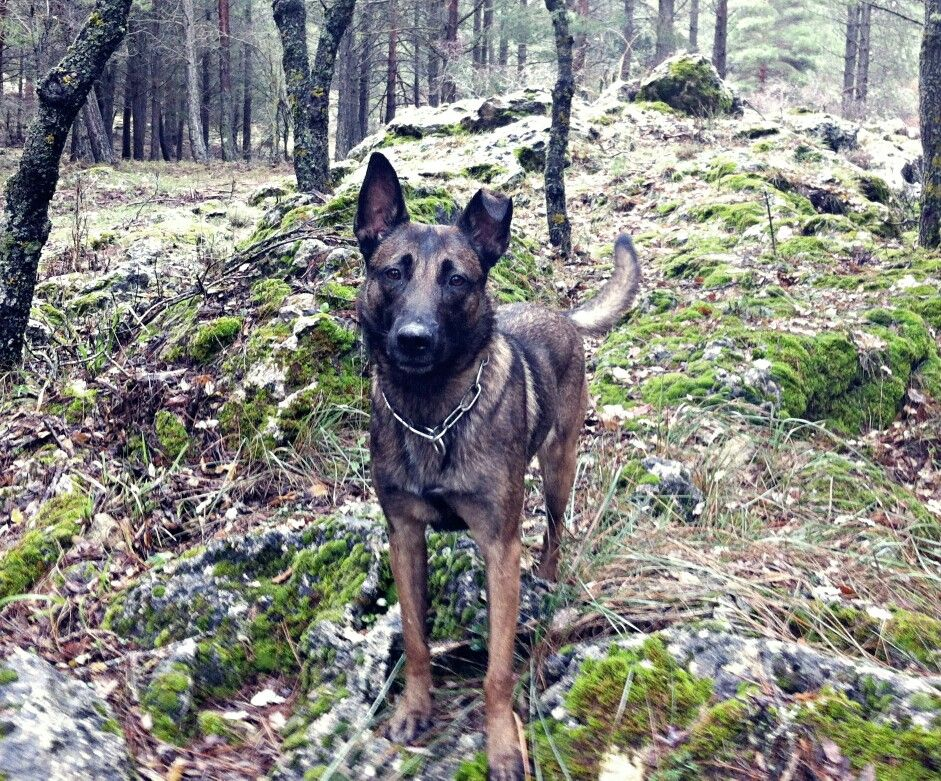 Pin by remy rodriguez on Working Dogs Belgian malinois