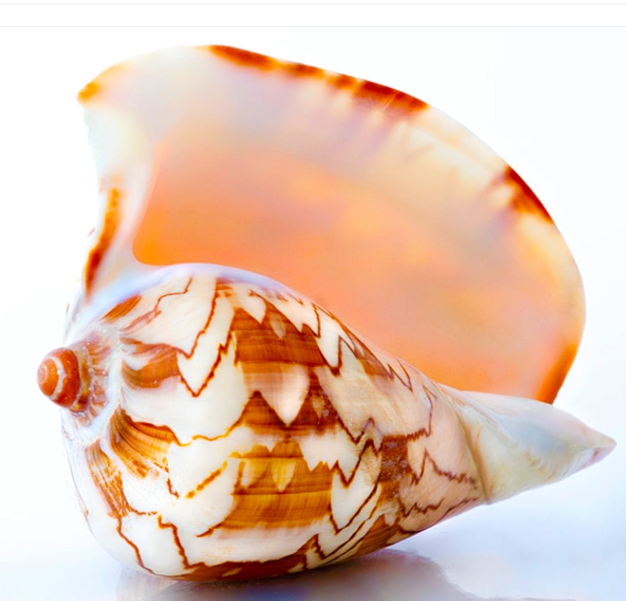 S. shell