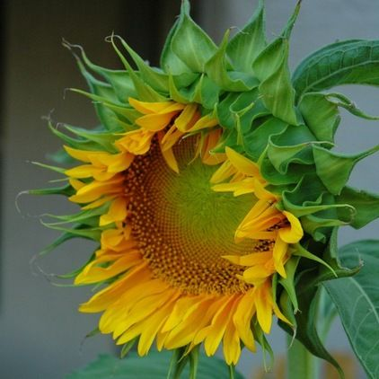 Summer Crops How To Grow Sunflowers Growing Sunflowers Planting Sunflowers Sunflower